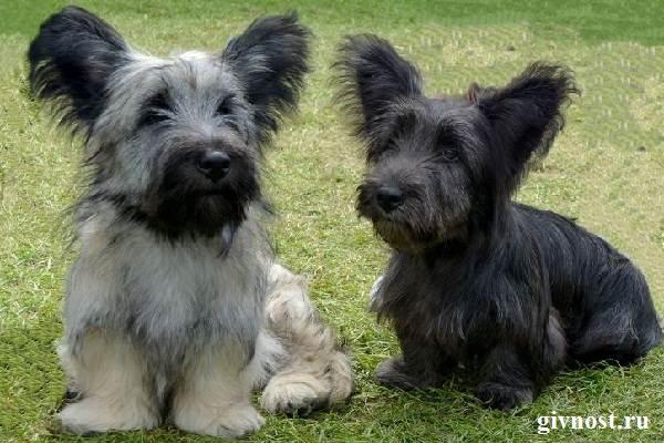 Скай-терьер-собака-Описание-особенности-цена-и-уход-за-скай-терьером-1