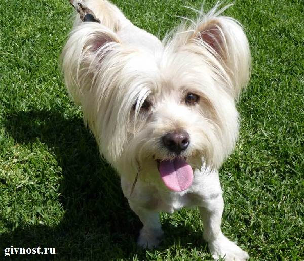 Скай-терьер-собака-Описание-особенности-цена-и-уход-за-скай-терьером-10
