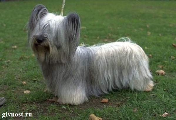 Скай-терьер-собака-Описание-особенности-цена-и-уход-за-скай-терьером-2