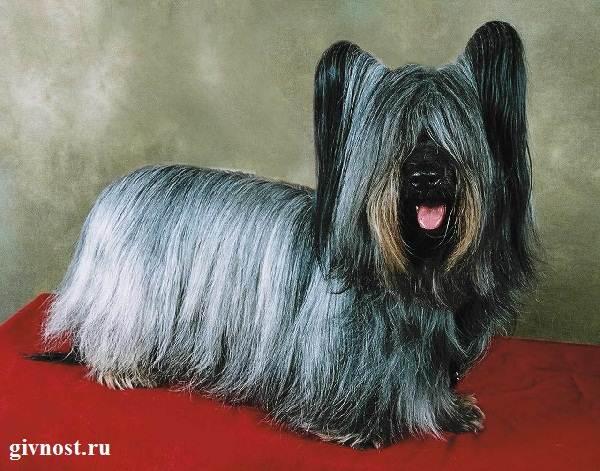 Скай-терьер-собака-Описание-особенности-цена-и-уход-за-скай-терьером-3