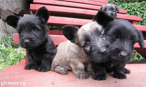 Скай-терьер-собака-Описание-особенности-цена-и-уход-за-скай-терьером-4