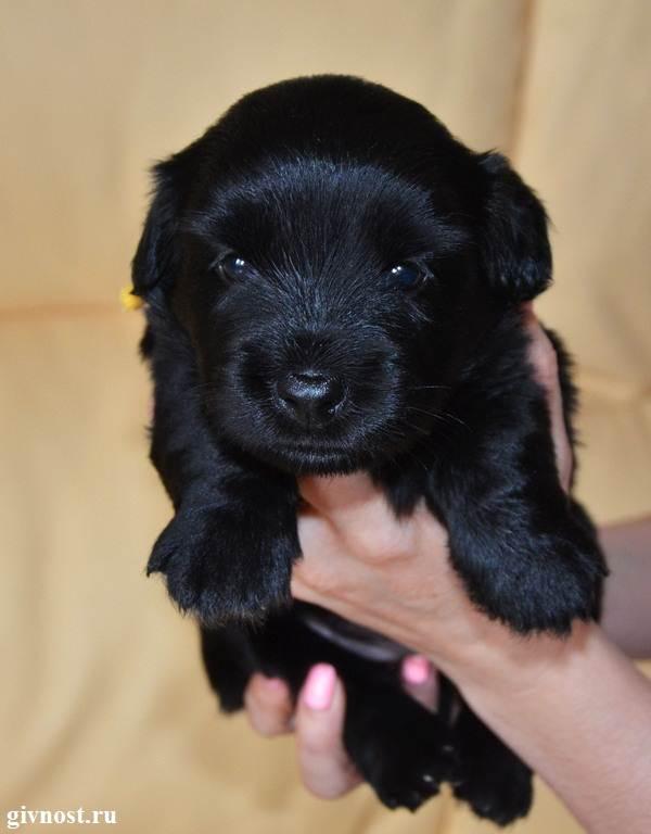 Скай-терьер-собака-Описание-особенности-цена-и-уход-за-скай-терьером-5
