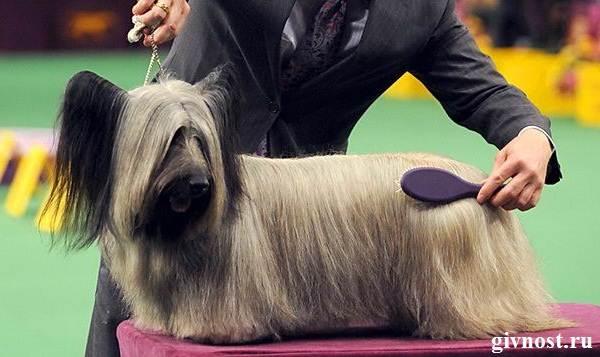 Скай-терьер-собака-Описание-особенности-цена-и-уход-за-скай-терьером-6
