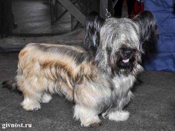 Скай-терьер-собака-Описание-особенности-цена-и-уход-за-скай-терьером-7