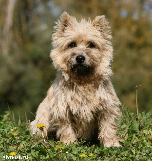 Скай-терьер-собака-Описание-особенности-цена-и-уход-за-скай-терьером-9