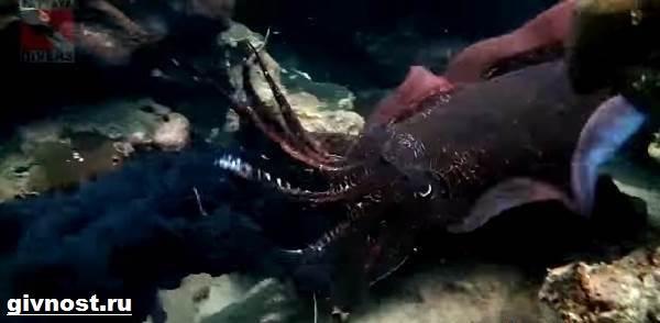 Чёрная-каракатица-Образ-жизни-и-среда-обитания-чёрной-каракатицы-6