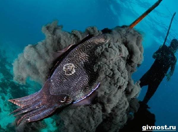 Чёрная-каракатица-Образ-жизни-и-среда-обитания-чёрной-каракатицы-1