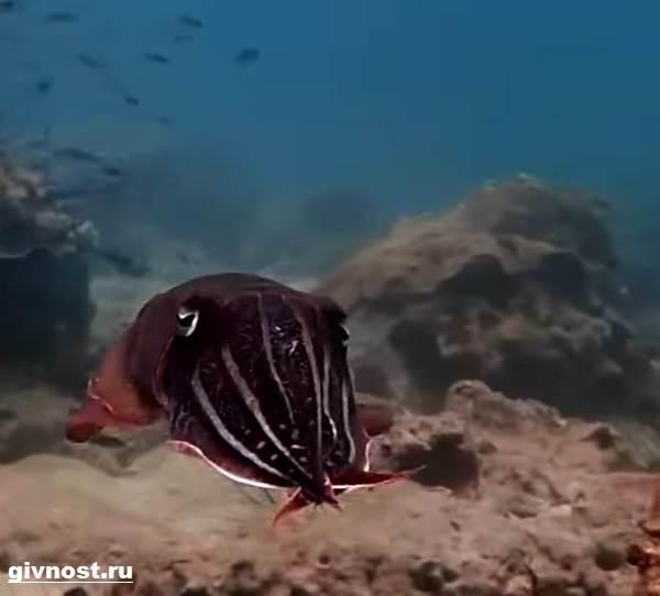 Чёрная-каракатица-Образ-жизни-и-среда-обитания-чёрной-каракатицы-4