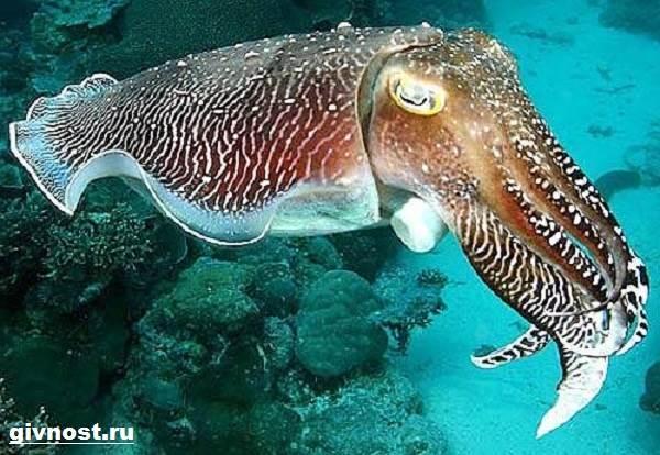 Чёрная-каракатица-Образ-жизни-и-среда-обитания-чёрной-каракатицы-5