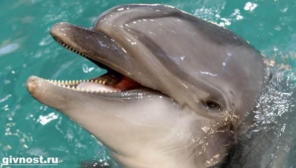 Дельфин-Афалина-его-образ-жизни-и-среда-обитания-2