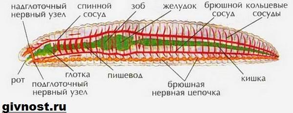 Дождевой-червь-Образ-жизни-и-среда-обитания-дождевого-червя-5
