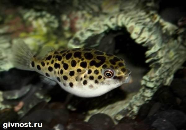 Карликовый-тетрадон-рыбка-Описание-особенности-уход-и-цена-тетрадона-1