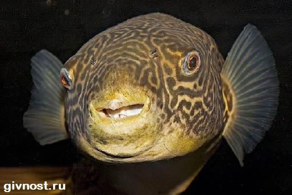 Карликовый-тетрадон-рыбка-Описание-особенности-уход-и-цена-тетрадона-12