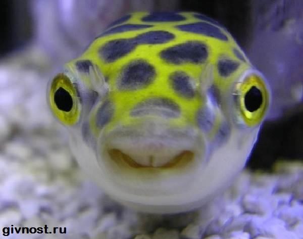 Карликовый-тетрадон-рыбка-Описание-особенности-уход-и-цена-тетрадона-2