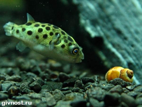 Карликовый-тетрадон-рыбка-Описание-особенности-уход-и-цена-тетрадона-3