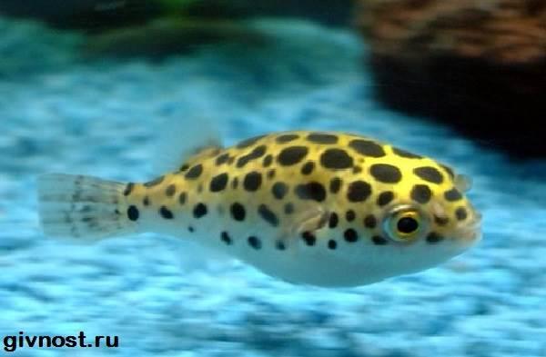 Карликовый-тетрадон-рыбка-Описание-особенности-уход-и-цена-тетрадона-4