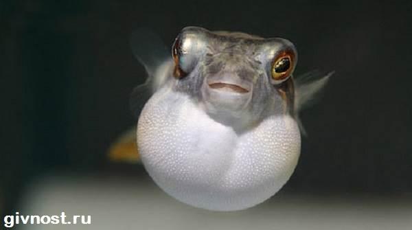Карликовый-тетрадон-рыбка-Описание-особенности-уход-и-цена-тетрадона-6
