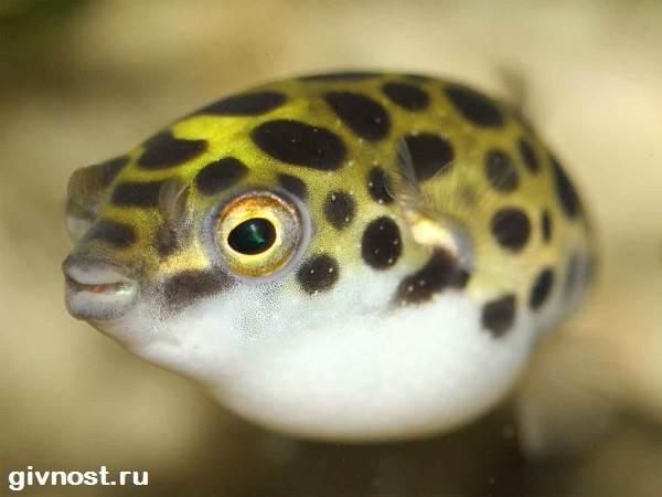Карликовый-тетрадон-рыбка-Описание-особенности-уход-и-цена-тетрадона-7