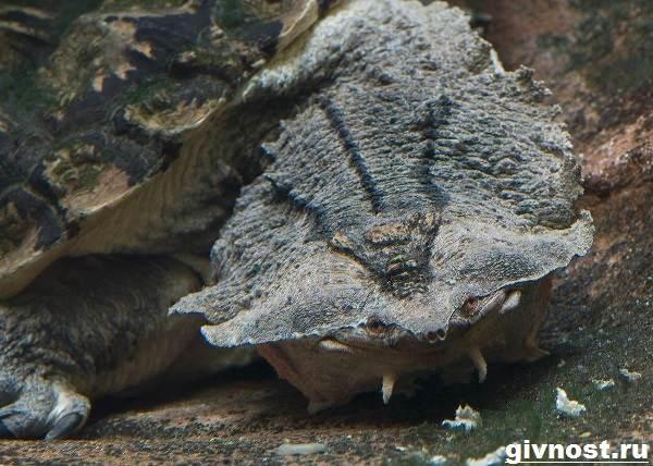 Матамата-черепаха-Образ-жизни-и-среда-обитания-черепахи-матамата-2