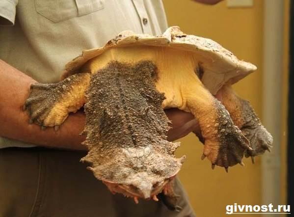 Матамата-черепаха-Образ-жизни-и-среда-обитания-черепахи-матамата-3