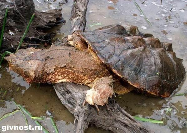 Матамата-черепаха-Образ-жизни-и-среда-обитания-черепахи-матамата-4