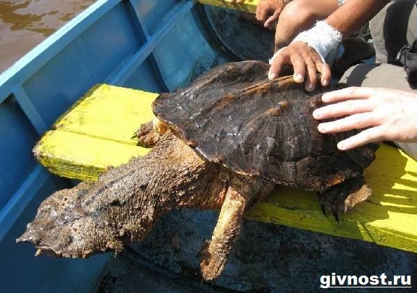 Матамата-черепаха-Образ-жизни-и-среда-обитания-черепахи-матамата-8