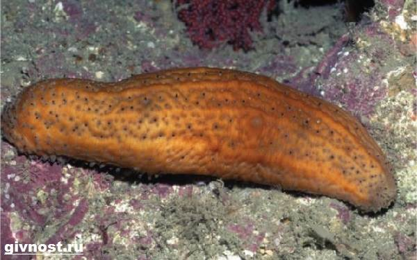 Морской-огурец-Образ-жизни-и-среда-обитания-морского-огурца-9