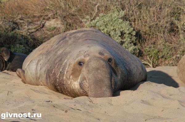 Морской-слон-Образ-жизни-и-среда-обитания-морского-слона-10