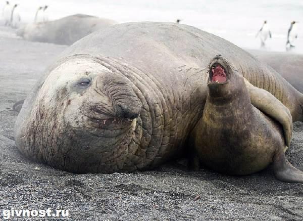 Морской-слон-Образ-жизни-и-среда-обитания-морского-слона-6
