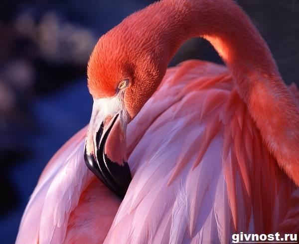 rozovyj-flamingo-obraz-zhizni-i-sreda-obitaniya-rozovogo-flamingo-4