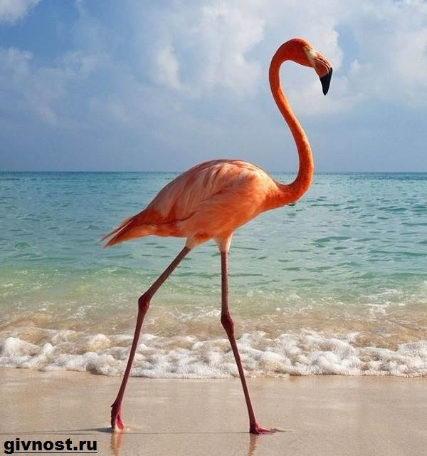 rozovyj-flamingo-obraz-zhizni-i-sreda-obitaniya-rozovogo-flamingo-5