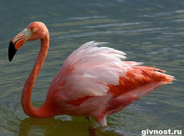 rozovyj-flamingo-obraz-zhizni-i-sreda-obitaniya-rozovogo-flamingo-6