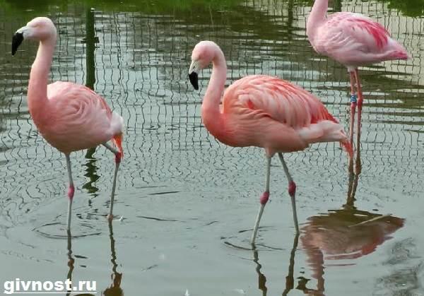 rozovyj-flamingo-obraz-zhizni-i-sreda-obitaniya-rozovogo-flamingo-8
