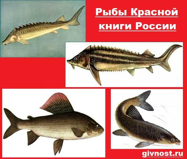 Рыбы-Красной-книги-России-1