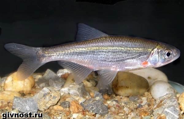 Рыбы-Красной-книги-России-10
