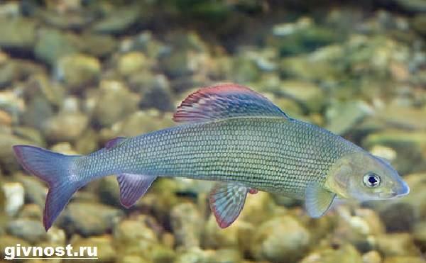 Рыбы-Красной-книги-России-11
