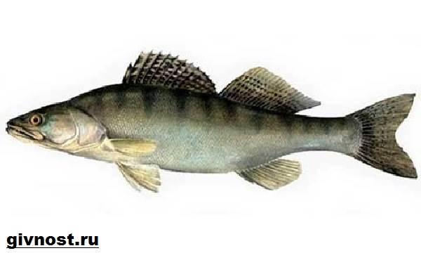 Рыбы-Красной-книги-России-5
