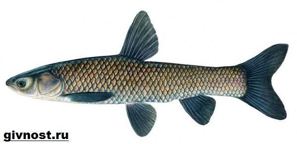 Рыбы-Красной-книги-России-6