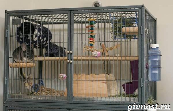 Шиншилла-животное-Описание-особенности-уход-и-цена-шиншиллы-8