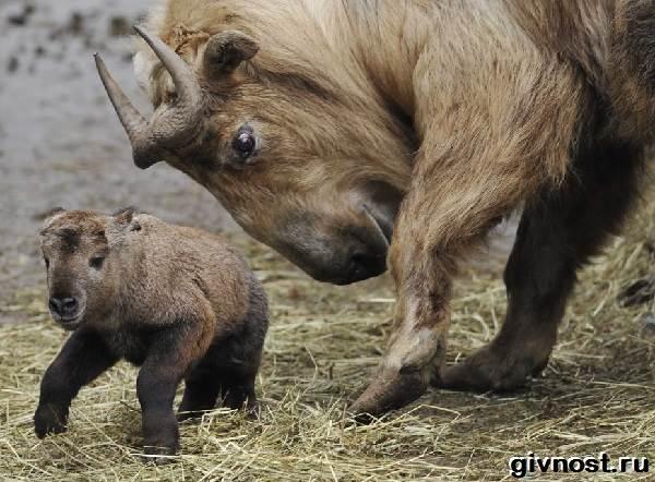 Такин-животное-Образ-жизни-и-среда-обитания-такина-10