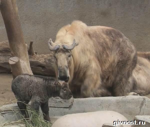 Такин-животное-Образ-жизни-и-среда-обитания-такина-3