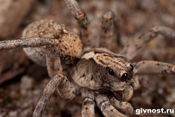Тарантул-паук-Образ-жизни-и-среда-обитания-паука-тарантула-3