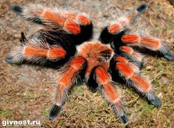 Тарантул-паук-Образ-жизни-и-среда-обитания-паука-тарантула-4