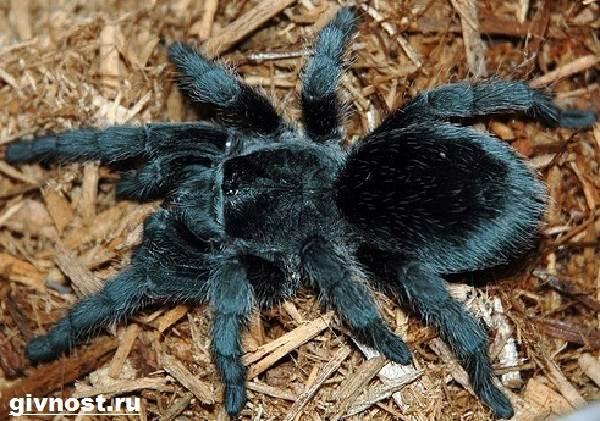 Тарантул-паук-Образ-жизни-и-среда-обитания-паука-тарантула-6