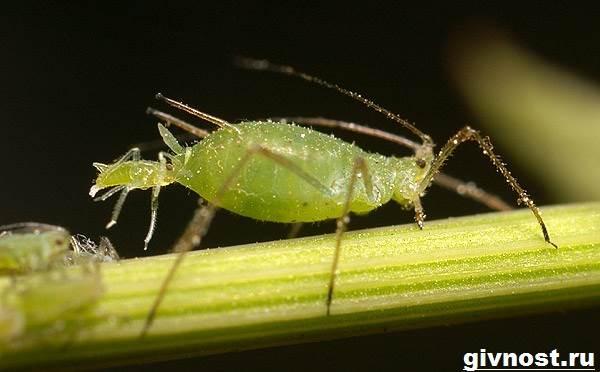 Тля-насекомое-Образ-жизни-и-среда-обитания-тли-1