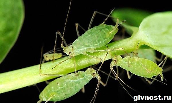 Тля-насекомое-Образ-жизни-и-среда-обитания-тли-2