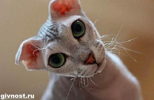 Украинский-левкой-кошка-Описание-особенности-уход-и-цена-породы-украинский-левкой-1