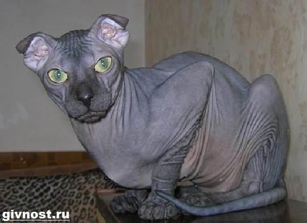 Украинский-левкой-кошка-Описание-особенности-уход-и-цена-породы-украинский-левкой-3