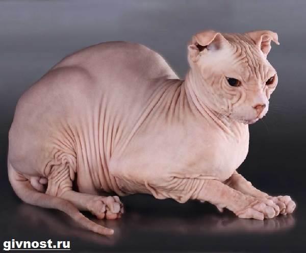 Украинский-левкой-кошка-Описание-особенности-уход-и-цена-породы-украинский-левкой-4