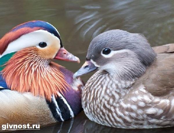 Утка-мандаринка-Образ-жизни-и-среда-обитания-утки-мандаринки-1